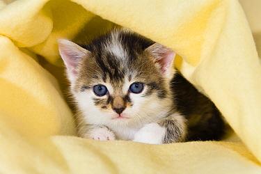 Domestic Cat (Felis catus) kitten with blue eyes, on sofa, Germany  -  Konrad Wothe
