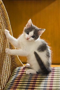 Domestic Cat (Felis catus) kitten on chair, Germany  -  Konrad Wothe