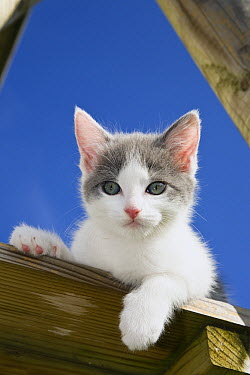 Domestic Cat (Felis catus) kitten, Germany  -  Konrad Wothe