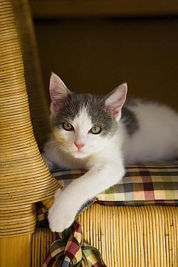 Domestic Cat (Felis catus) kitten in living room, Germany  -  Konrad Wothe