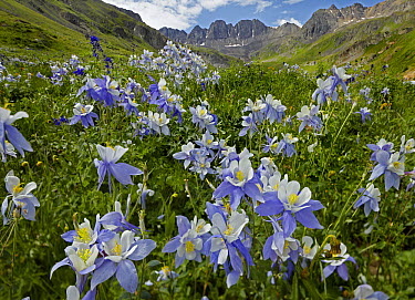 Colorado Blue Columbine (Aquilegia caerulea) flowers in American Basin, Colorado  -  Tim Fitzharris
