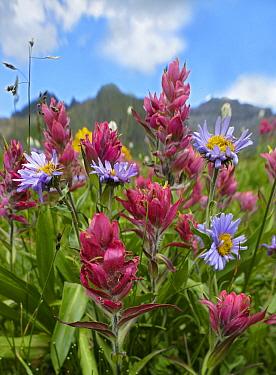 Paintbrush (Castilleja sp) and Daisy (Chrysanthemum sp) flowers, San Juan Mountains, Colorado  -  Tim Fitzharris