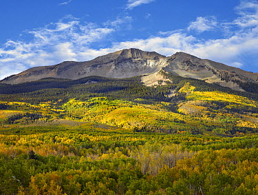 Quaking Aspen (Populus tremuloides) forest and East Beckwith Mountain, West Elk Wilderness, Colorado  -  Tim Fitzharris