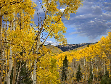 Quaking Aspen (Populus tremuloides) trees in autumn, Santa Fe National Forest near Santa Fe, New Mexico  -  Tim Fitzharris