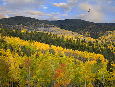 Cooper's Hawk (Accipiter cooperii) flying over Quaking Aspen (Populus tremuloides) forest, Santa Fe National Forest, Sangre de Cristo Mountains, New Mexico  -  Tim Fitzharris