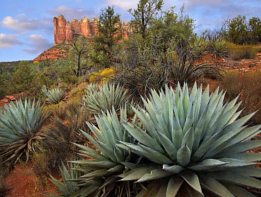 Agave (Agave sp) and Coffee Pot Rock near Sedona, Arizona  -  Tim Fitzharris