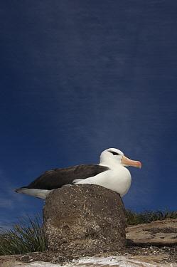 Black-browed Albatross (Thalassarche melanophrys) on pedestal nest, Keppel Island, Falkland Islands  -  Pete Oxford
