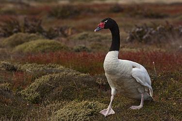Black-necked Swan (Cygnus melancoryphus), Keppel Island, Falkland Islands  -  Pete Oxford