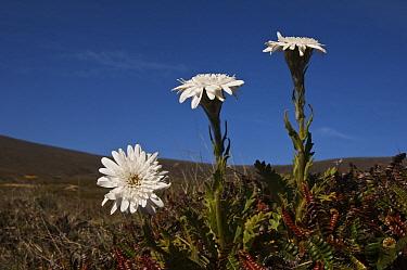 Vanilla Daisy (Leucheria suaveolens) flowers, Keppel Island, Falkland Islands  -  Pete Oxford