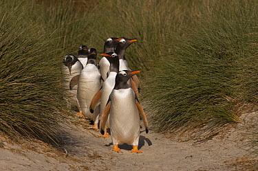 Gentoo Penguin (Pygoscelis papua) group coming down highway, each day the penguins go between their colonies and the sea to feed, walking long distances on land, Keppel Island, Falkland Islands  -  Pete Oxford