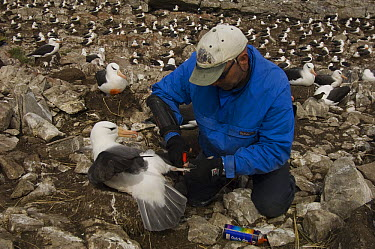 Black-browed Albatross (Thalassarche melanophrys) banded by Nic Huin, for a study on population decline, Saunders Island, Falkland Islands  -  Pete Oxford