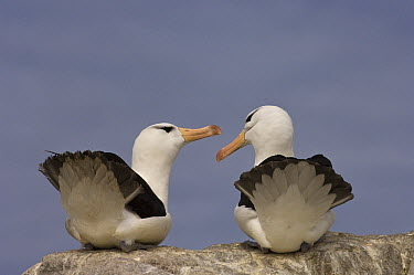 Black-browed Albatross (Thalassarche melanophrys) pair courting, Steeple Jason Island, Falkland Islands  -  Pete Oxford