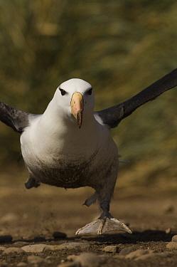 Black-browed Albatross (Thalassarche melanophrys) running to take flight, Steeple Jason Island, Falkland Islands  -  Pete Oxford
