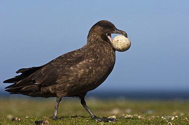 Antarctic Skua (Catharacta antarctica) eating penguin egg, Saunders Island, Falkland Islands  -  Pete Oxford