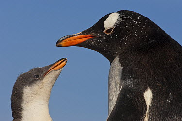 Gentoo Penguin (Pygoscelis papua) chick begging for food from parent, Saunders Island, Falkland Islands  -  Pete Oxford