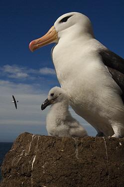 Black-browed Albatross (Thalassarche melanophrys) with chick on pedestal nest, Saunders Island, Falkland Islands  -  Pete Oxford