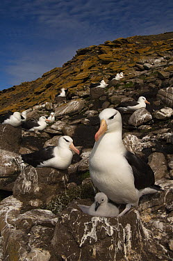 Black-browed Albatross (Thalassarche melanophrys) with chick, Saunders Island, Falkland Islands  -  Pete Oxford