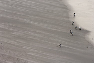 Magellanic Penguin (Spheniscus magellanicus) adults with juveniles returning to the land to moult, Saunders Island, Falkland Islands  -  Pete Oxford