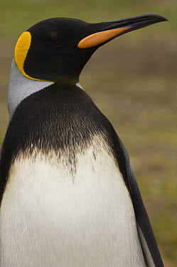 King Penguin (Aptenodytes patagonicus) with unusual markings, Volunteer Point, East Falkland Island, Falkland Islands  -  Pete Oxford
