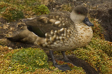 Crested Duck (Lophonetta specularioides), Carcass Island, Falkland Islands  -  Pete Oxford