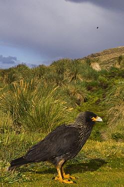 Striated Caracara (Phalcoboenus australis), West Point Island, Falkland Islands  -  Pete Oxford
