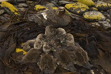 Falklands Steamerduck (Tachyeres brachypterus) mother with ducklings, Carcass Island, Falkland Islands  -  Pete Oxford