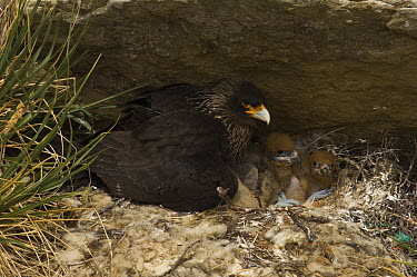 Striated Caracara (Phalcoboenus australis) on nest with three chicks, Carcass Island, Falkland Islands  -  Pete Oxford