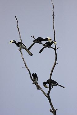 Malabar Pied-Hornbill (Anthracoceros coronatus) group, Borneo, Malaysia  -  Hiroya Minakuchi