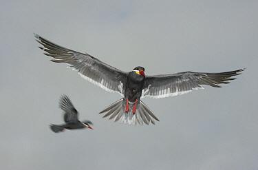 Inca Tern (Larosterna inca) flying, Pucusana, Peru  -  Kevin Schafer