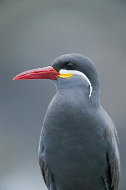 Inca Tern (Larosterna inca) portrait, Pucusana, Peru  -  Kevin Schafer