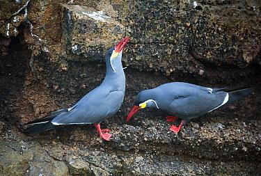 Inca Tern (Larosterna inca) pair courting, Pucusana, Peru  -  Kevin Schafer
