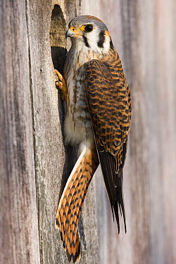 American Kestrel (Falco sparverius) female at nest box, Prairie du Chien, Wisconsin  -  Sebastian Kennerknecht