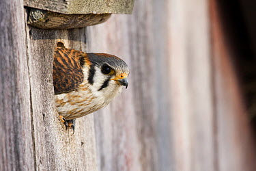 American Kestrel (Falco sparverius) female emerging from nest box, Prairie du Chien, Wisconsin  -  Sebastian Kennerknecht