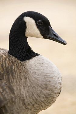 Canada Goose (Branta canadensis) profile, Prairie du Chien, Wisconsin  -  Sebastian Kennerknecht