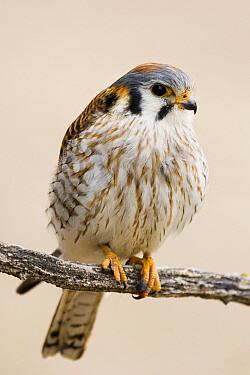 American Kestrel (Falco sparverius) female, Prairie du Chien, Wisconsin  -  Sebastian Kennerknecht