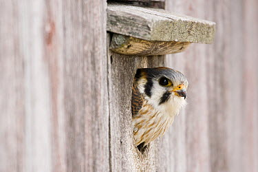 American Kestrel (Falco sparverius) female peeking out of nest box, Prairie du Chien, Wisconsin  -  Sebastian Kennerknecht