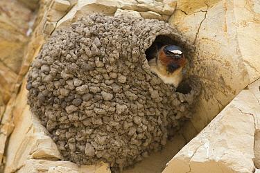 American Cliff Swallow (Petrochelidon pyrrhonota) in mud nest on cliff, Santa Cruz, Monterey Bay, California  -  Sebastian Kennerknecht
