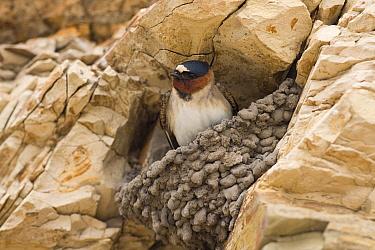 American Cliff Swallow (Petrochelidon pyrrhonota) in partial mud nest on cliff, Santa Cruz, Monterey Bay, California  -  Sebastian Kennerknecht