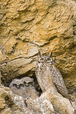 Great Horned Owl (Bubo virginianus) parent with owlets in nest in cliff, Alum Rock Park, San Jose, California  -  Sebastian Kennerknecht
