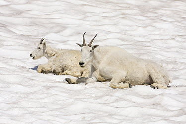 Mountain Goat (Oreamnos americanus) mother and kid cooling off on snow patch, Logan Pass, Glacier National Park, Montana  -  Sebastian Kennerknecht