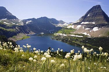Bear Grass (Xerophyllum tenax) blooming with Hidden Lake and Bearhat Mountain in the background, Logan Pass, Glacier National Park, Montana  -  Sebastian Kennerknecht