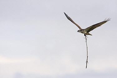 Osprey (Pandion haliaetus) carring stick to build nest, Many Glacier, Glacier National Park, Montana  -  Sebastian Kennerknecht