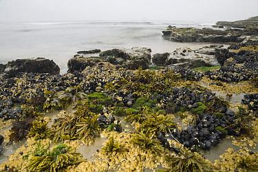 California Mussel (Mytilus californianus) clusters, Barnacles (Balanus sp), Black Turban Snails (Tegula funebralis), Rockweed (Fucus sp), and Sea Lettuce (Ulva sp) in high tide zone, Santa Cruz, Monte...  -  Sebastian Kennerknecht