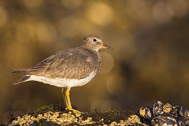 Surfbird (Aphriza virgata) on intertidal rocks, Natural Bridges State Beach, Santa Cruz, Monterey Bay, California  -  Sebastian Kennerknecht