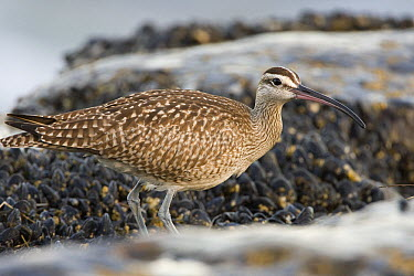 Whimbrel (Numenius phaeopus) foraging for invertebrates in intertidal rocks, Natural Bridges State Beach, Santa Cruz, Monterey Bay, California  -  Sebastian Kennerknecht