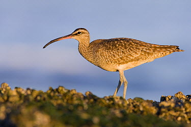 Whimbrel (Numenius phaeopus) on intertidal rocks at sunset, Natural Bridges State Beach, Santa Cruz, Monterey Bay, California  -  Sebastian Kennerknecht