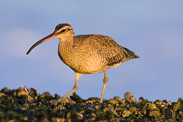 Whimbrel (Numenius phaeopus) foraging in intertidal rocks at sunset, Natural Bridges State Beach, Santa Cruz, Monterey Bay, California  -  Sebastian Kennerknecht