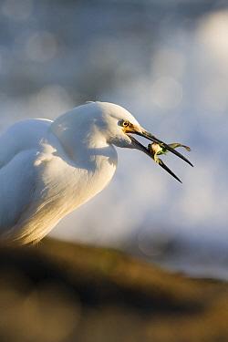 Snowy Egret (Egretta thula) feeding on Tidepool Sculpin (Oligocottus maculosus), Natural Bridges State Beach, Santa Cruz, Monterey Bay, California  -  Sebastian Kennerknecht