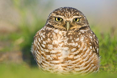 Burrowing Owl (Athene cunicularia) at burrow, Berkeley, San Francisco Bay, California  -  Sebastian Kennerknecht