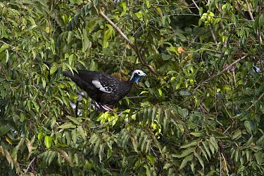 Blue-throated Piping-Guan (Pipile cumanensis), Pantanal, Brazil  -  Suzi Eszterhas